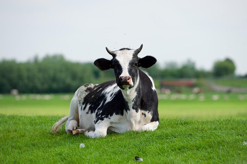 Pay attention! The symptoms and treatment of vaginal prolapse in dairy cows.