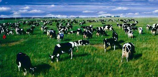 The secret you have to know about brucellosis in dairy cows.