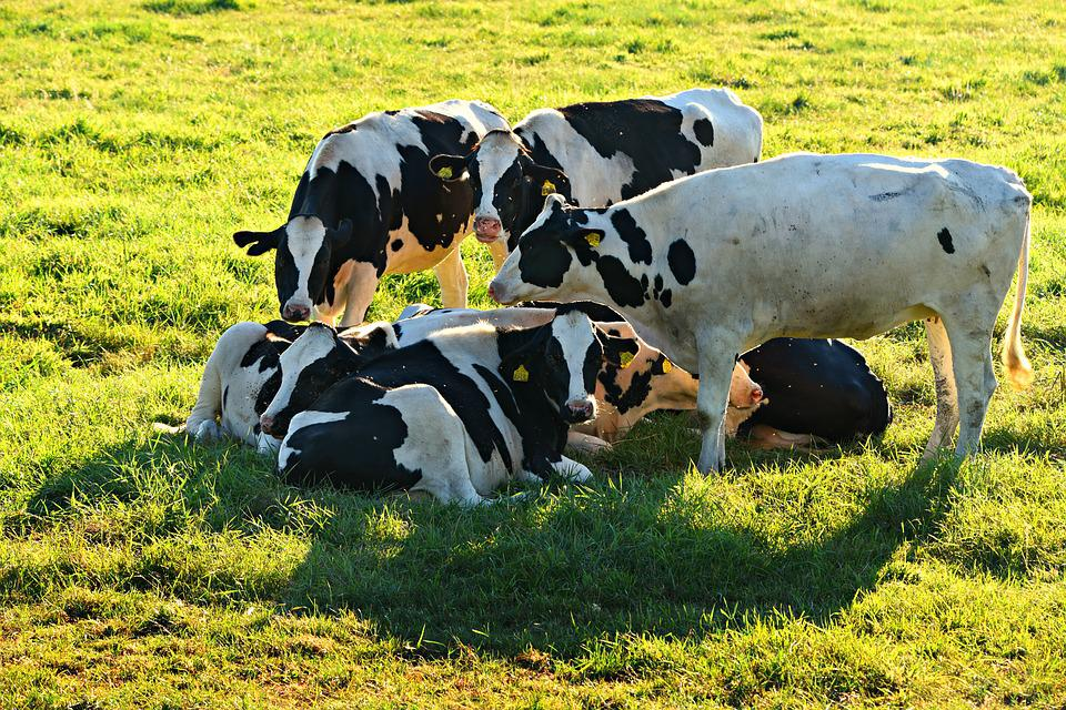 You have to know it! The secret of dairy cow dystocia.