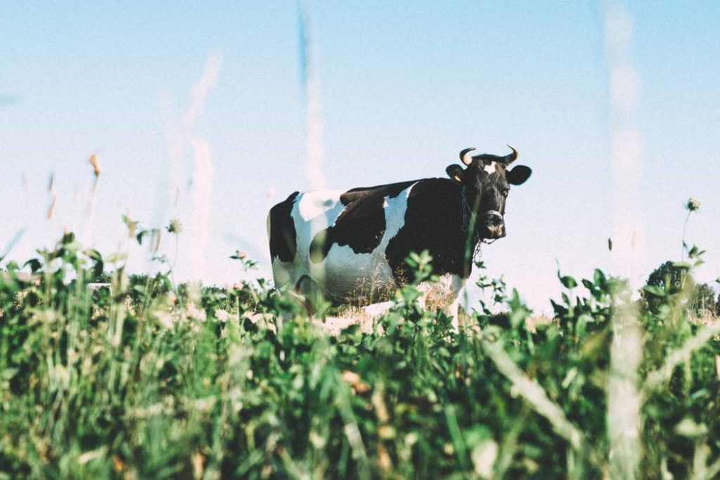 Dairy Cow Breeding and Disease Control