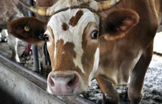 Pay attention! The secret of Dairy Cow Mastitis.