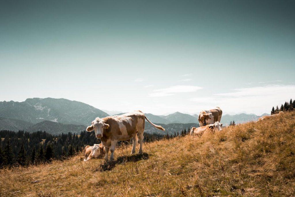 Eight Misunderstandings in Rural Dairy Cow Breeding