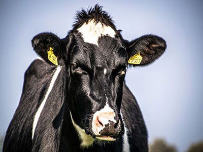 Dairy Cows in Dry Period