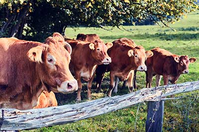 cattle-brucellosis-disease