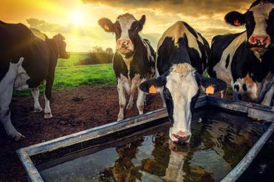 cattle-bvdv-disease