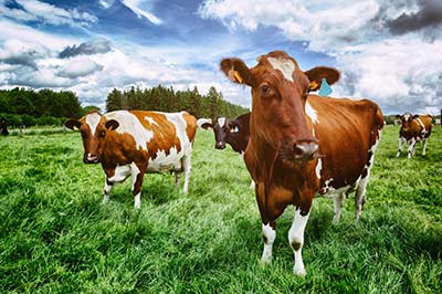 cattle-fmd-disease