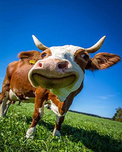 dairy farming guide in urdu pdf,