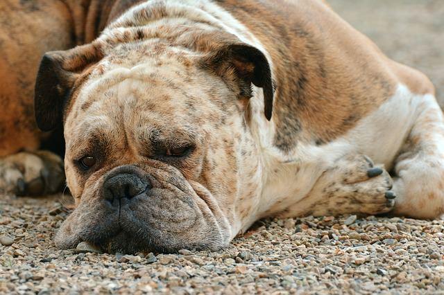 perro-sintomas-veneno