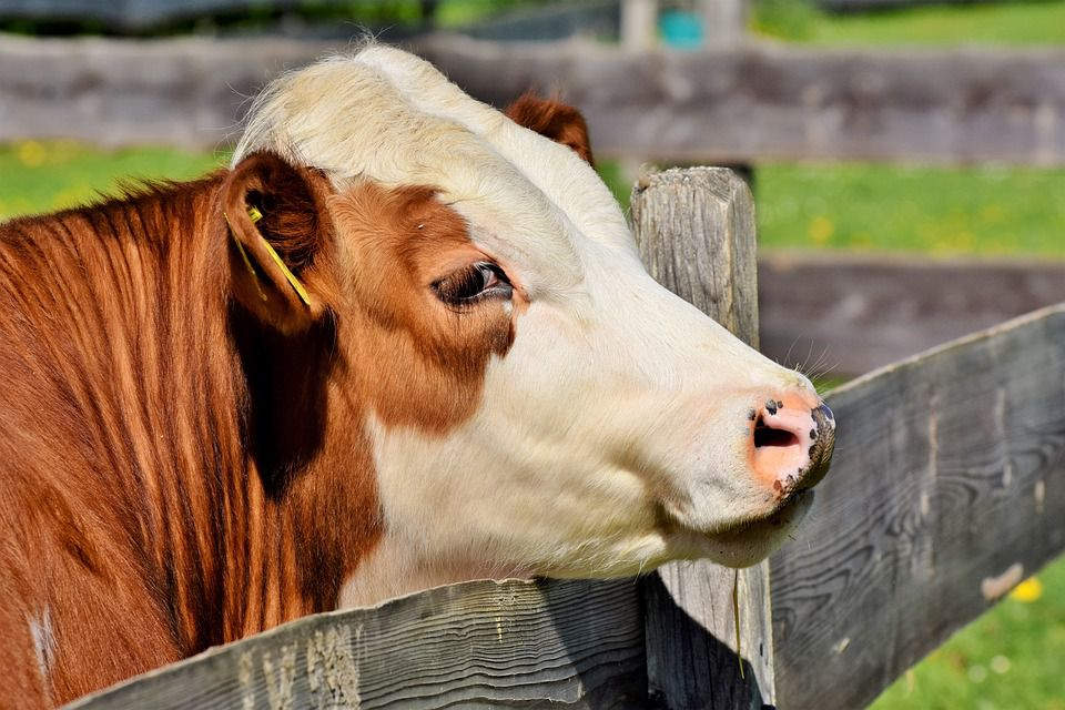 Effective Ways to Improve Milk Yield of Dairy Cows