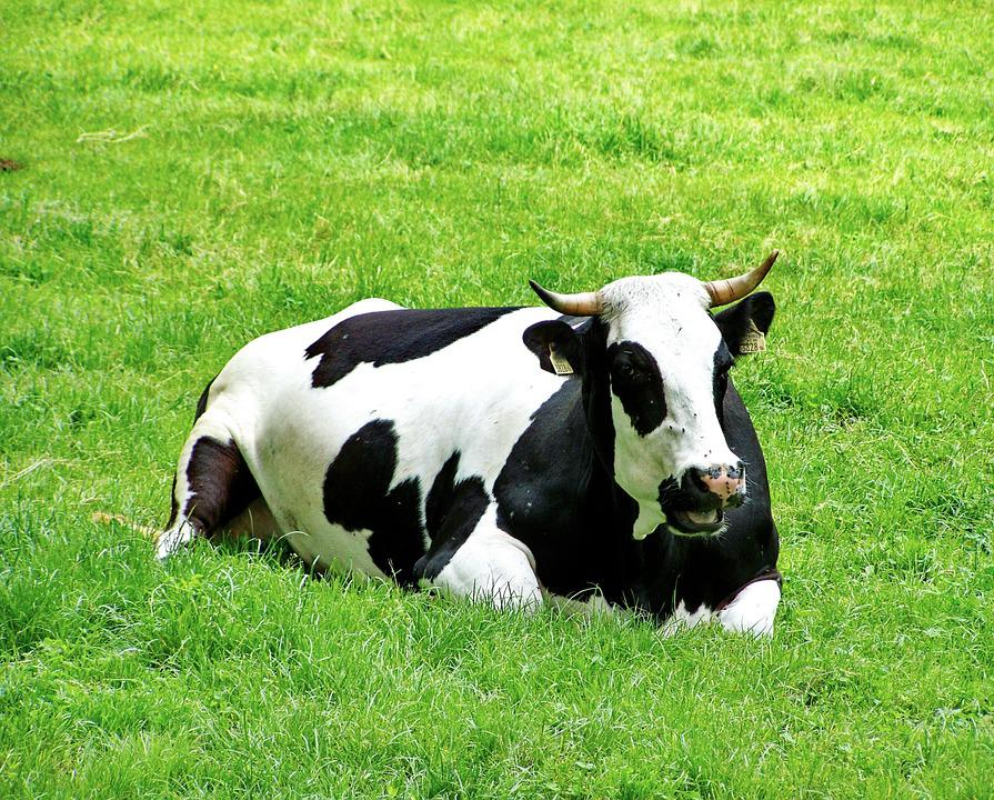 The harm and clinical manifestation of metabolic diseases in dairy cows