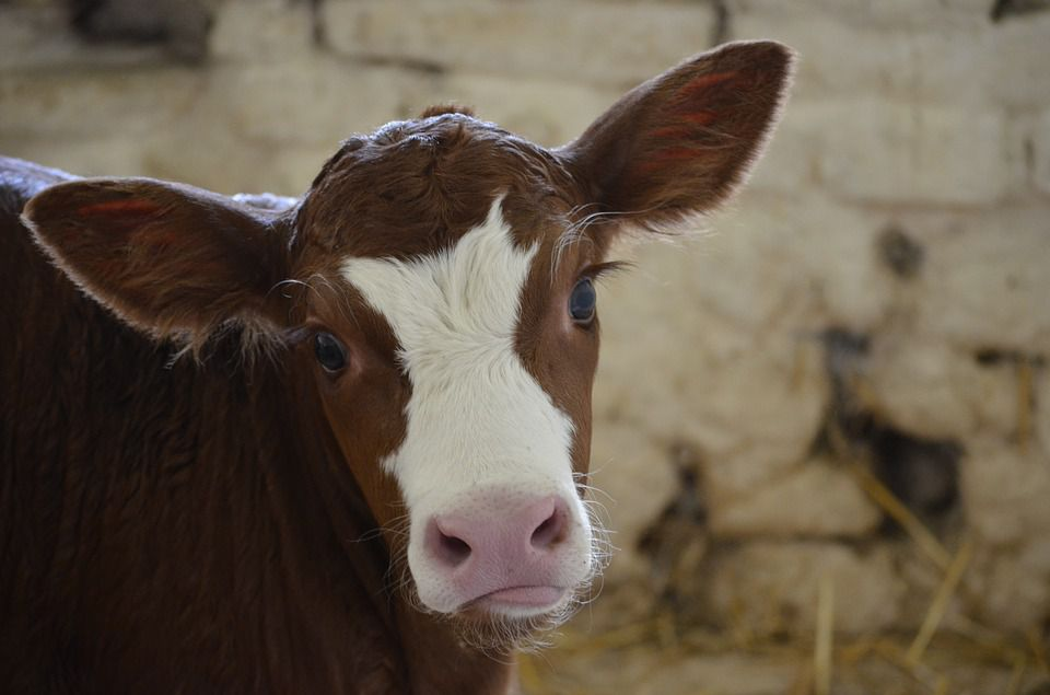 Three Common Diseases of Calves