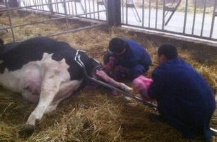 Cause analysis and solution of stillbirth in dairy cows