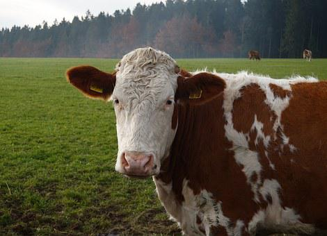 Diagnosis and Prevention of Fatty Liver Syndrome in Dairy Cows