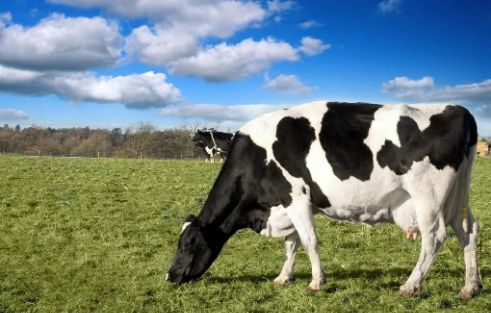 Environmental Control and Protection of  Dairy Cow Breeding