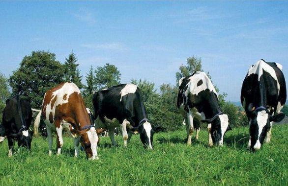 Several things of Difficulty in Dairy Cow Breeding