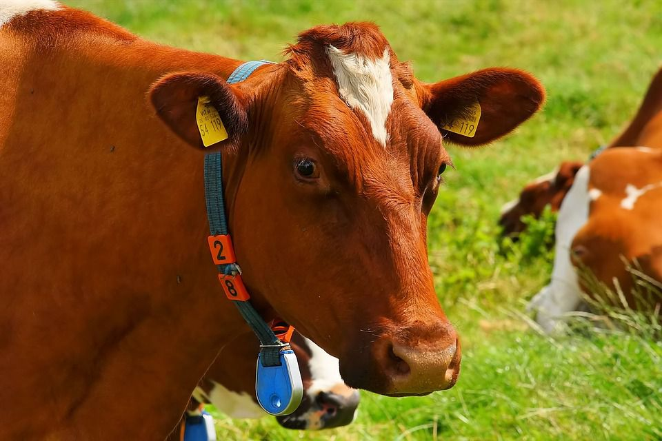 Breeding and Management Techniques of Bred Cows