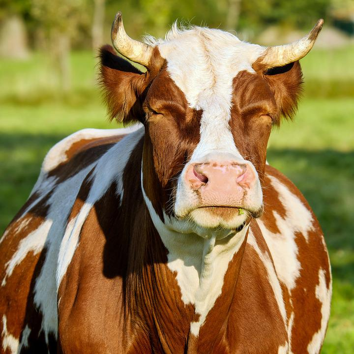 Treatment plan for common diseases of dairy cows - hoof diseases