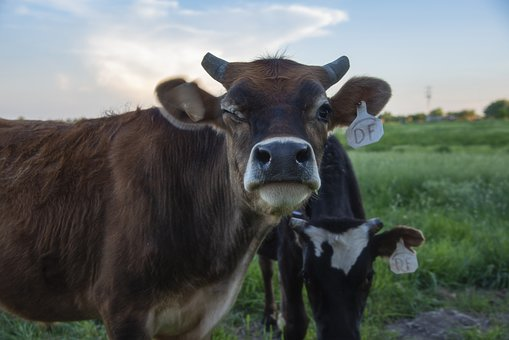 It may lack such things if dairy cows suffer from diseases