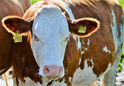 Four Common Diseases of Prevention and Treatment of  in Dairy Cows