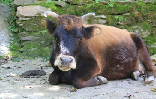 Prevention and treatment of cow stomatitis