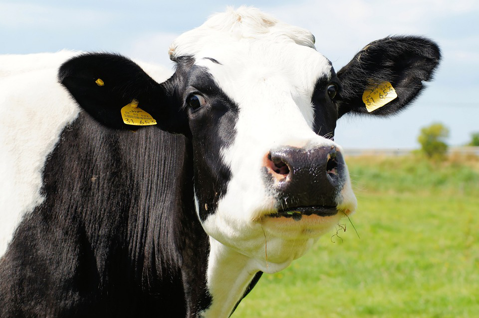 How to scientifically and reasonably breed dairy cows?