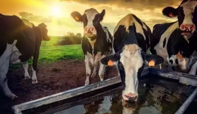cows drink water