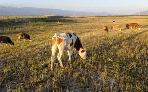 How to treat cow tetanus?