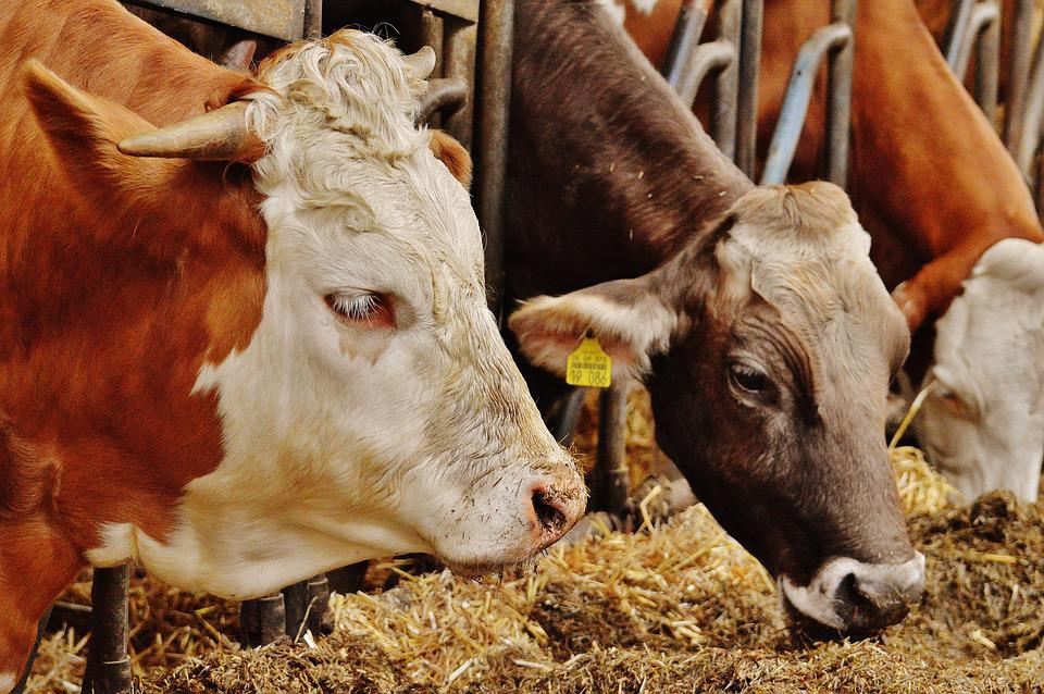 Difficult and Complicated Diseases of Dairy Cows