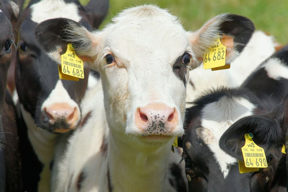 Measures to Improve Feed Digestibility of Dairy Cows