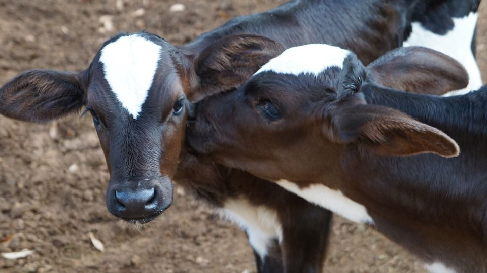 Five major problems of calves after birth