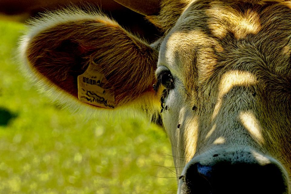 Five things to be noticed in beef cattle fattening process