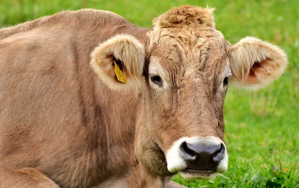 Four Fattening Methods for Beef Cattle to Improve Their Growth Quickly