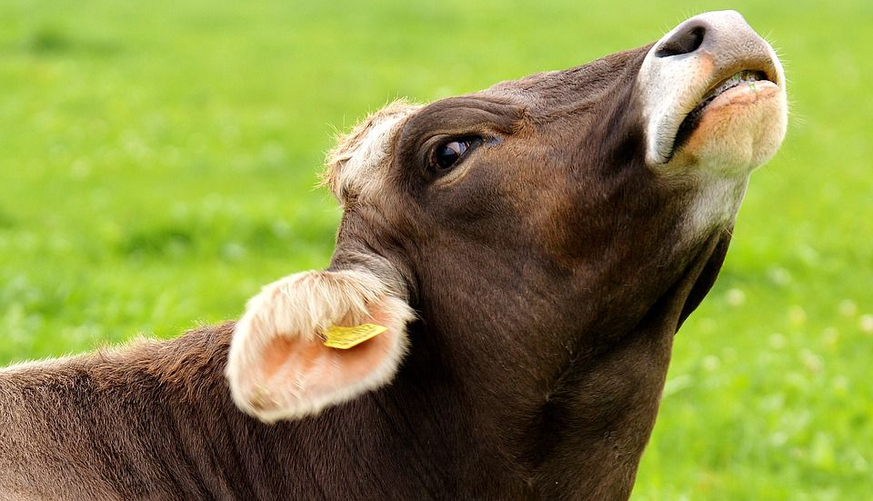 Three Key Points of Beef Cattle Raising