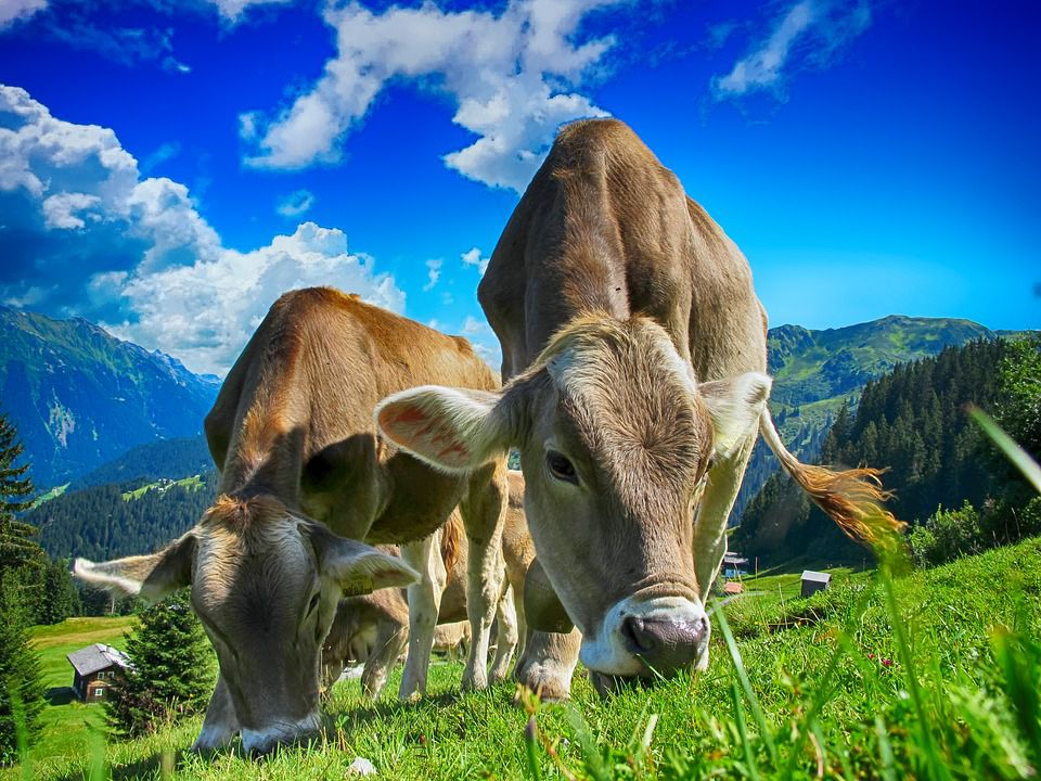 Feeding and Management of Dairy Cows