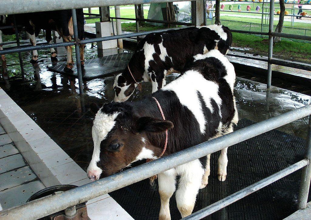 Detailed Management of Operation Procedures  of Milking Parlour