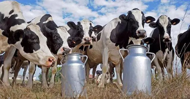 Dairy Cow Farming