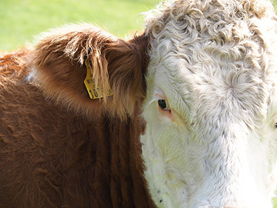 Nutritional Standards of Feed for Dairy Cows at Different Stages