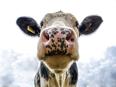 Misunderstandings in Dairy Cow Breeding