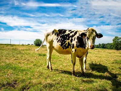 Feeding and Management of Dairy Cows under Heat Stress