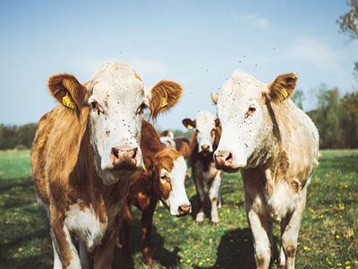 Key points of feeding technology for lactating cows