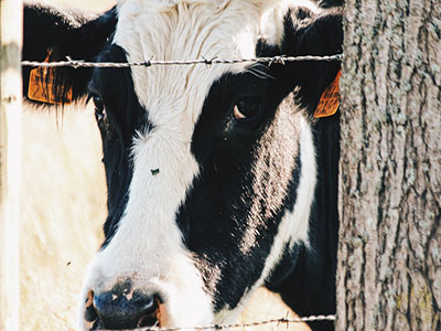 Skills of Forage Supply in Dairy Cow Breeding