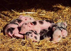 pig pregnancy rapid test