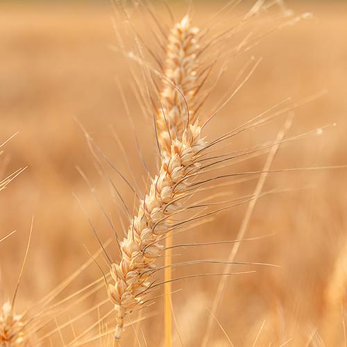 feed-grain-rapid-testing