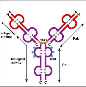 fc antibody
