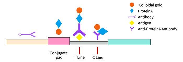 lateral-flow-assay-development