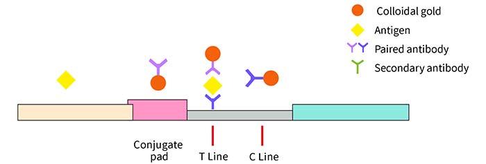 lateral-flow-immunoassay