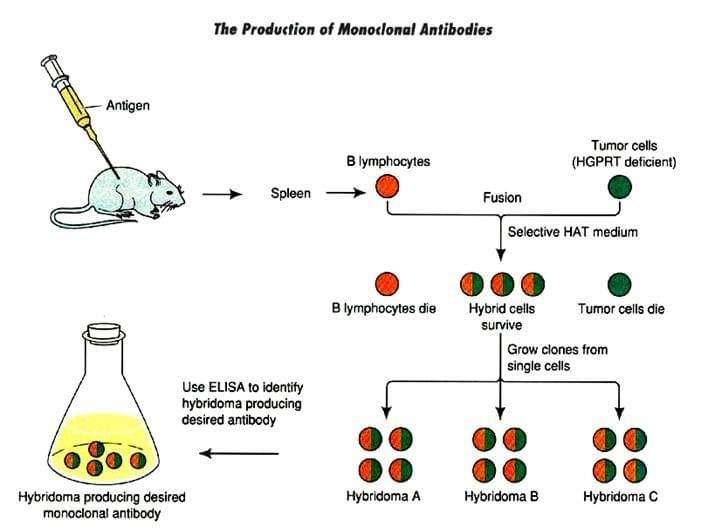 monoclonal-and-polyclonal-antibodies