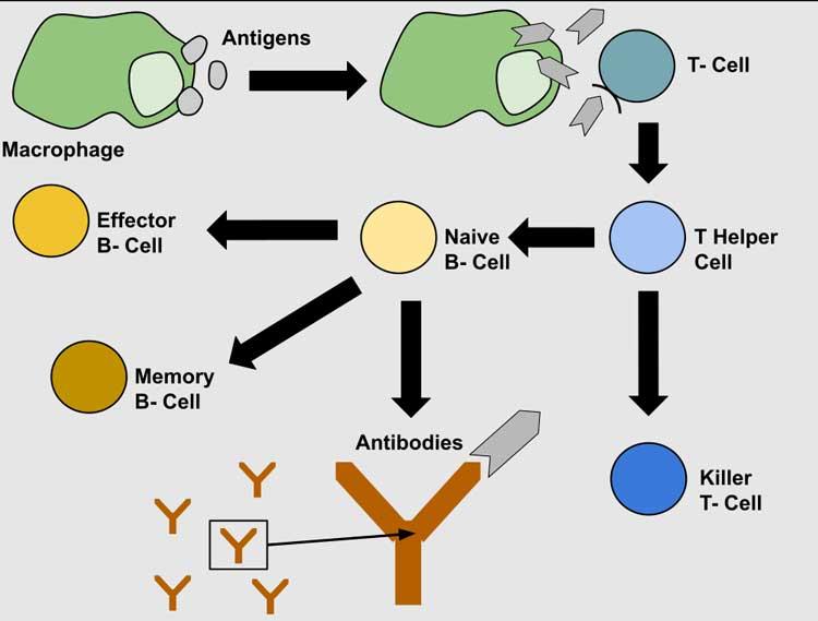 SARS-CoV-2-Antigen